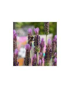 Lavender stoechas 'LUSI PURPLE'