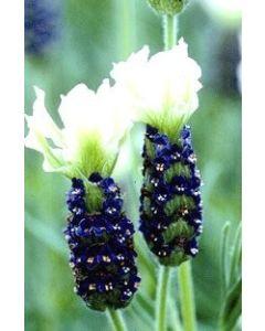 Lavender stoechas 'TIARA'