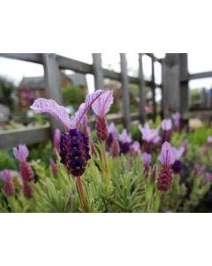 Lavender stoechas 'ROCKY ROAD'