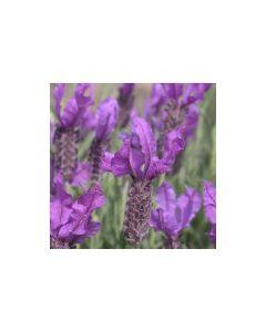 Lavender Stoechas 'WILLOWVALE'