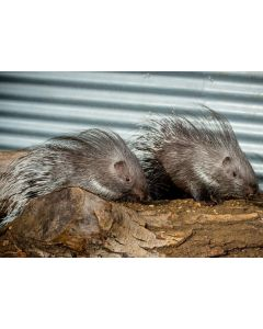 African Crested Porcupines - Elsa & Anna
