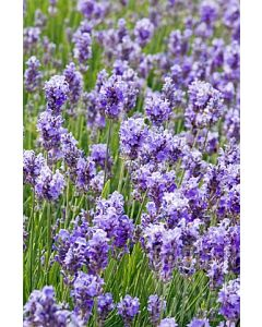 Lavender angustifolia 'ASHDOWN FOREST'