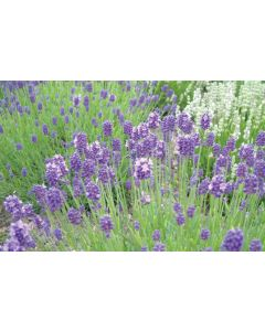 Lavender angustifolia 'THUMBELINA LEIGH'