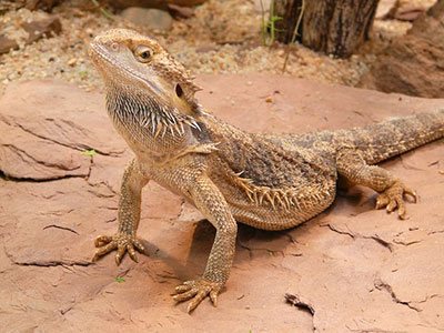 Bearded_Dragon_Facts
