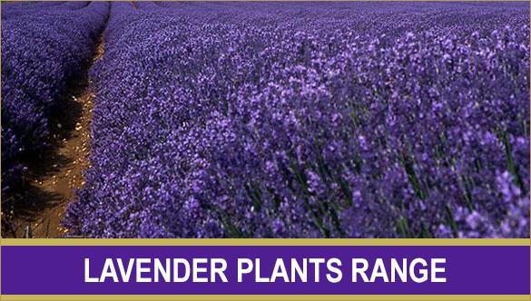 lavender_plants_button