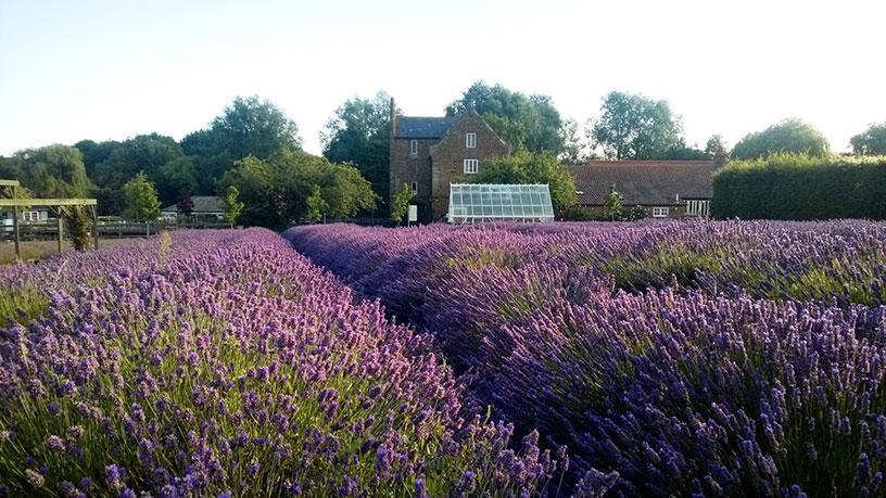 norfolk-lavender-view